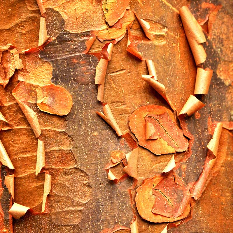 """Cinnamon Paperbark Maple by Marcia Mueller. Photographic canvas giclee, 30""""x30"""". Donated by Marcia Mueller MES '94."""