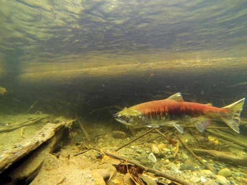 Sockeye salmon photographed by the F2V