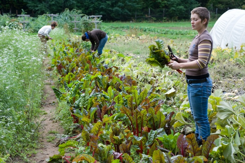 Harvesting in the Organic Farm