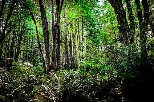 Evergreen Forest Summer - MES