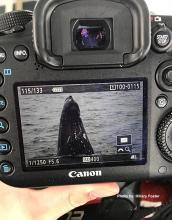 A humpback whale viewed on a DSLR camera screen.