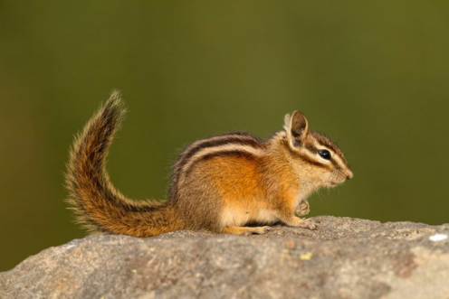 A Townsend's chipmunk on a rock