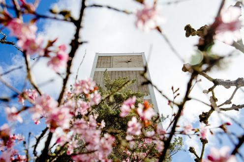 Cherry blossom clock tower